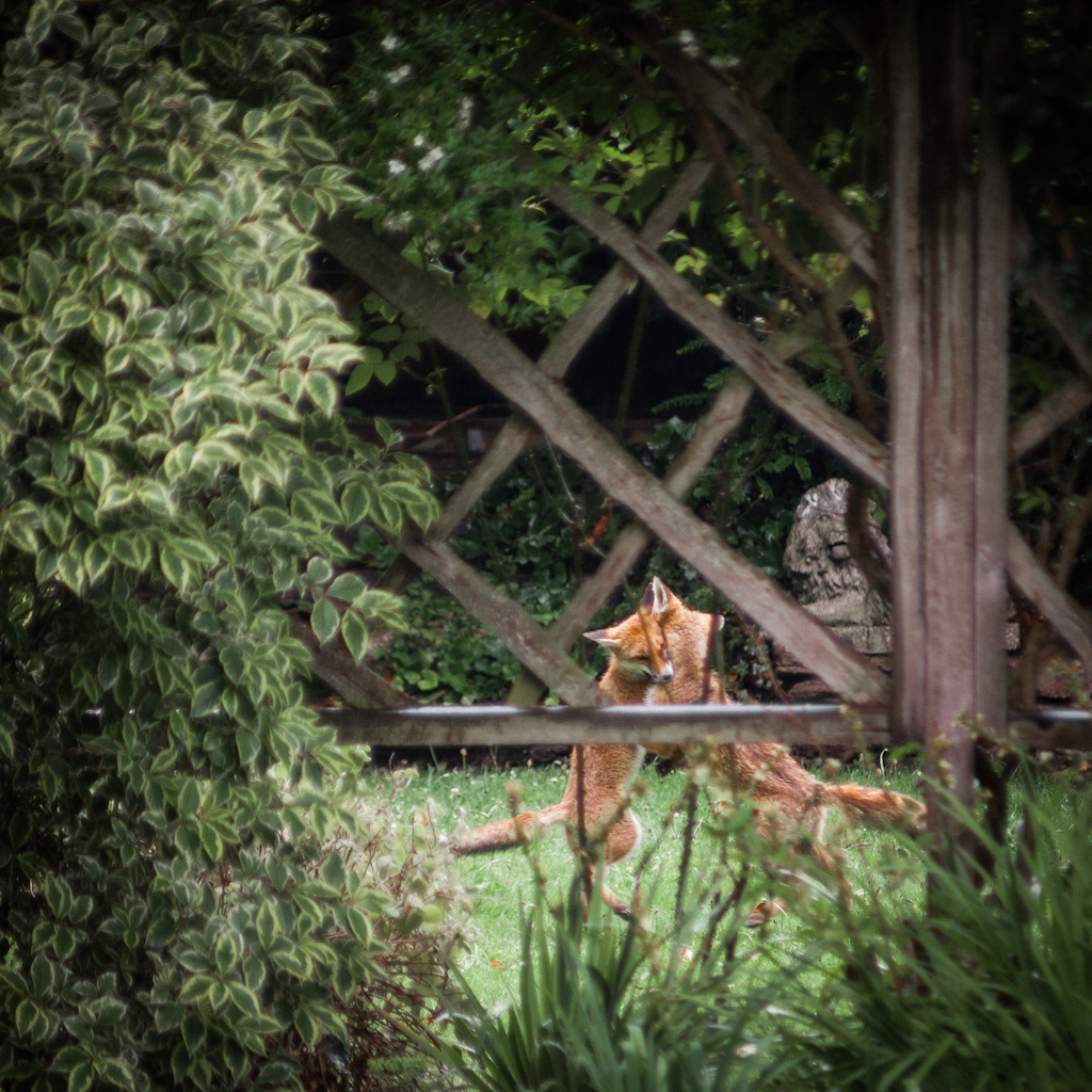 Cavorting Foxes